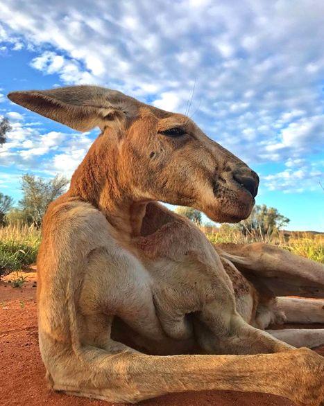 Roger, The Incredibly Buff Kangaroo, Has Died At Age