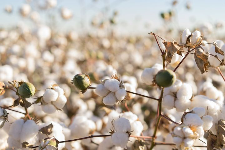 Organic cotton is harvested from non-genetically modified plants and grown without the use of synthetic chemicals like fertil