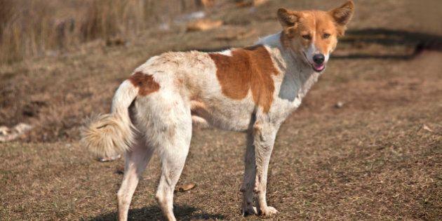 Indian dog, full