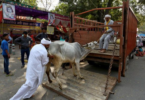 Men load a cow onto a truck in the Jantar Mantar area of New Delhi, India, March 10, 2016. REUTERS/Cathal