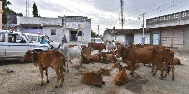 Herd of cow seen resting at Mota Samadhiyala village in