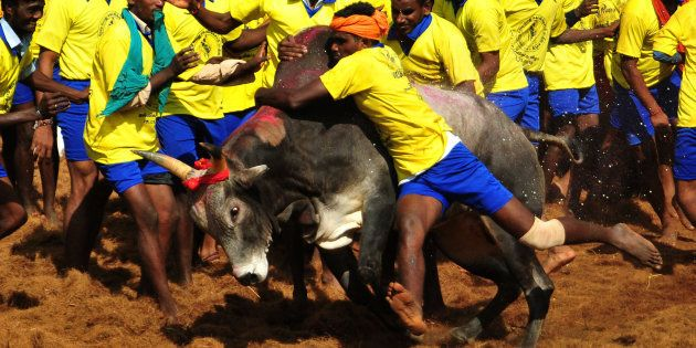 Participants attempt to hold down a bull during the traditional bull taming festival called