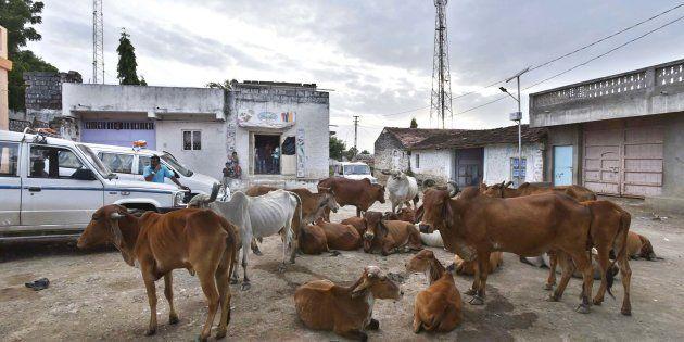 Herd of cow seen resting at Mota Samadhiyala village in Una,