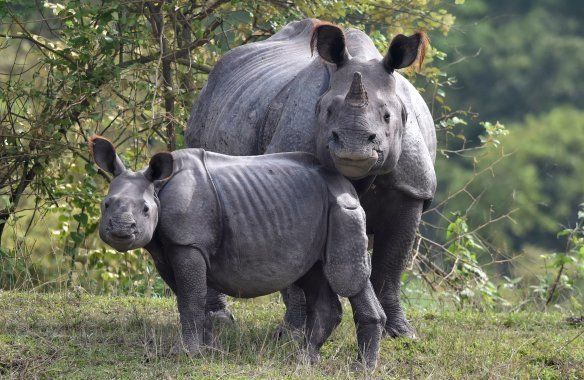 An Indian one-horn rhinoceros and her calf rest on higher land to escape flood waters at the Pobitora...