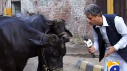 A Pakistani Journalist Interviewed A Buffalo And Got A Response