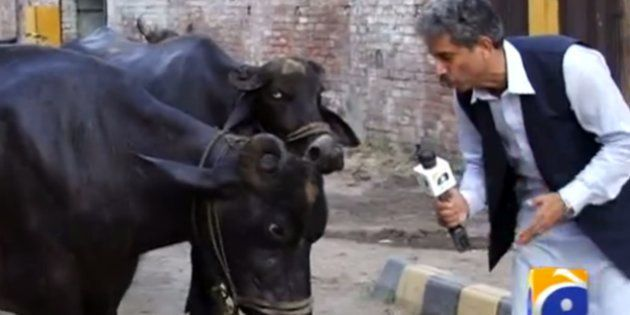 A Pakistani Journalist Interviewed A Buffalo And This Is