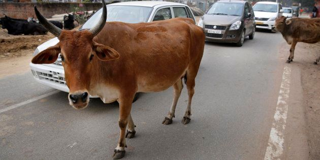 File photo of motorists driving past stray cows on a road in Allahabad, India, Friday, Jan. 31,