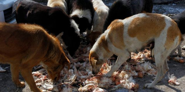 65-Year-Old Woman Mauled To Death By Over 100 Stray Dogs In