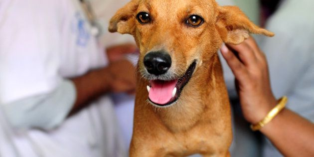An injured dog known as 'Bhadra' looks on while being treated at Tamil Nadu Veterinary University