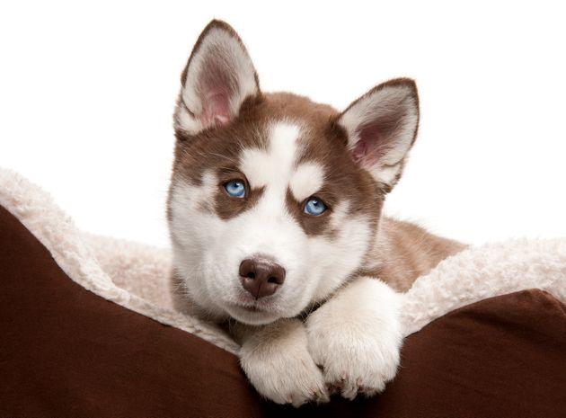 Siberian Huskies are rare and expensive