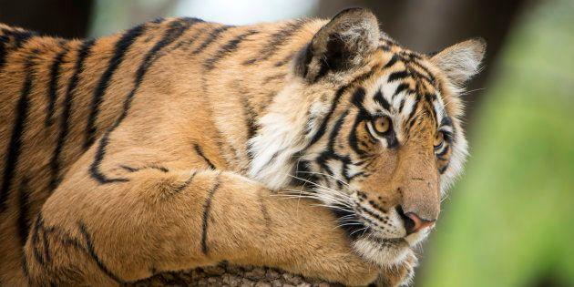 Tiger Dies Of Starvation In Corbett Tiger