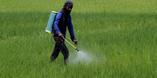 A village living farmer applies fertilizers into his agricultural paddy field outskirts of