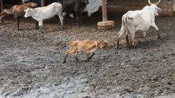 Dalit Man Commits Suicide After Facing Social Boycott For Killing A Calf In