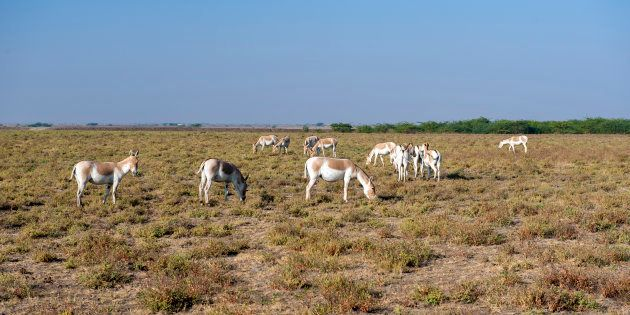 Endangered Indian Wild asses in the Little Rann of Kutch, a semi-desert salt marsh and wild ass sanctuary...
