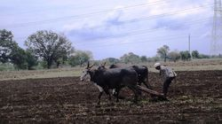Maharashtra Farmers Fear Loss Of Kharif Harvest, Blame Met