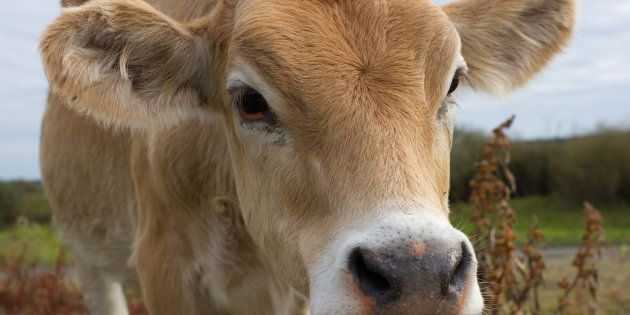 Young dairy cow head. Cattle in farm, agriculture in