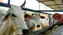 Cow Shelter Owners In Nainital Asked For A 'Settlement Amount' After Sick Cow