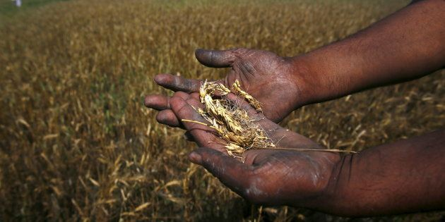 A farmer shows wheat crop damaged by unseasonal rains in his wheat field at Sisola Khurd village in the...