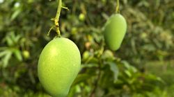There's A New Kind Of Mango In Uttar Pradesh, And It's Named After The Most Powerful Man In The