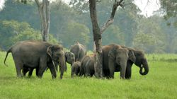 Mangoes, Bananas, Cashew And Tender Bamboo: Odisha Elephants Camp In Andhra For A Jumbo