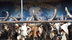 Arrested After The Death Of 30 Cows At His Shelter, Chhattisgarh BJP Leader Blames