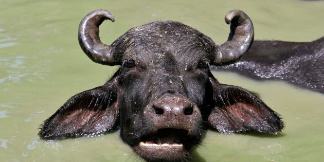 Cops Let Off Vigilantes Who Beat Up Five For Slaughtering Buffalo In Aligarh, Arrest Those