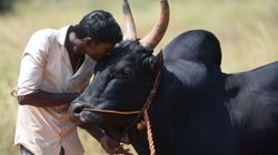 Muslim Clerics Campaign Against Sacrificing Bulls On Bakri