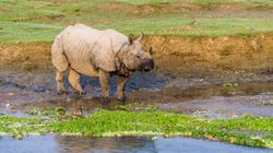 Swept Across The Indian Border During Floods, Nepal Takes Four Rhinos Back