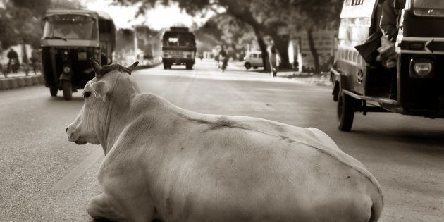 A cow relaxing on a busy city street in central