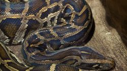 Faced With Python Menace, Florida Turns To Tamil Tribesmen For