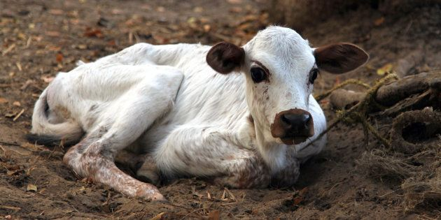 Suspecting Cow Smuggling, Ghaziabad Police Detain Ambulance Carrying Injured Calf For Several