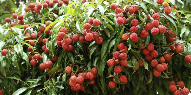 Researchers Confirm That Litchis Have Been Killing Malnourished Children In Bihar's Muzaffarpur For