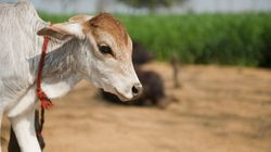 Had Nod From Boss, Claims Youth Congress Worker Who Led Public Slaughter of Calf In