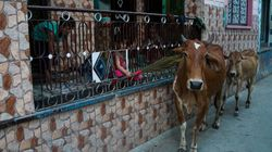 Madras High Court Stays Centre's Ban On Cattle