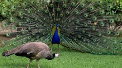 Your Honour, Peacocks Have Sex And Mythology Is Not
