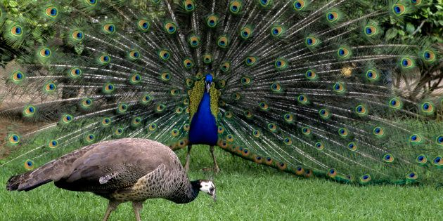 Dear Rajasthan High Court Judge, Hate To Break It To You, But Peacocks Do Have