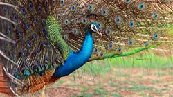 Brahmachari Peacocks And Other Homegrown Desi Beliefs You Can't