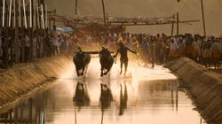 Karnataka Passes Bill To Legalise The State's Traditional Buffalo Race,