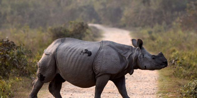 An Indian one horned rhino seen crossing a road inside the Kaziranga National Park, 250 kms east of Guwahati...