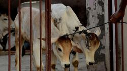 Cow Slaughter May Soon Be Punishable Under National Security Act In