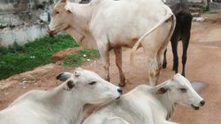 In Another Case Of Cow Vigilantism, Man Attacked By Mob For Allegedly Carrying 'Beef' To Iftar