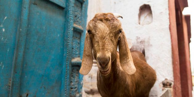 With An Appetite For Money, Goat In UP Feasts On Currency Worth Rs