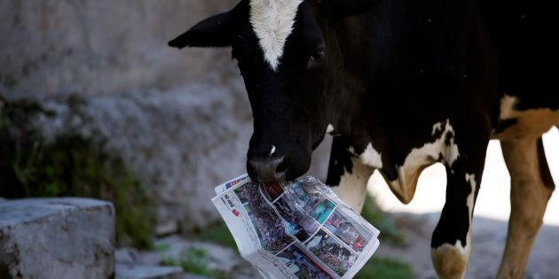 A cow holds a copy of a news paper on the outskirts of Srinagar, August 5, 2016. REUTERS/Danish