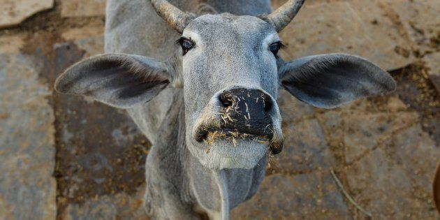 In this photograph taken on November 5, 2015, a cow looks on at a cow shelter owned by Babulal Jangir,...
