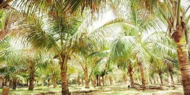 How Growing Coconuts In Deserts Is Helping Indian Farmers