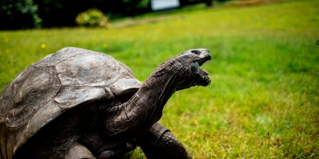 Jonathan the tortoise is blind and can't smell, but has excellent