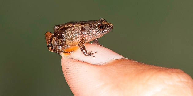 Four New Species Of World's Smallest Frogs Discovered In The Western