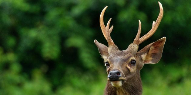 Deer Antlers Could Be Used For Ayurvedic Medicine, If Centre Gives Its