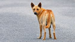 This Story Of A Dog That Walked With A Pilgrim For 600 Km Will Wrap Up Your Grim Year On A Cheery