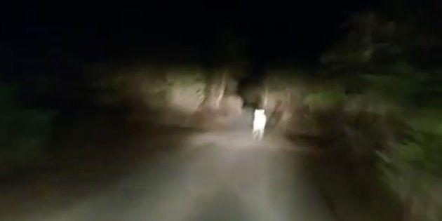 Watch: Horrific Video Shows Car Chasing Lion Cub As It Runs For Its
